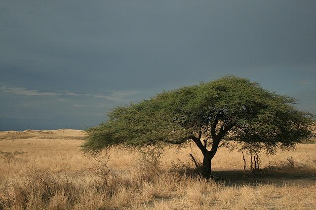 strom na savaně