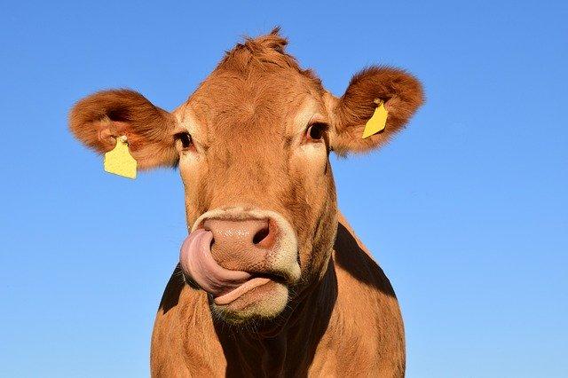 Oblizující se kráva