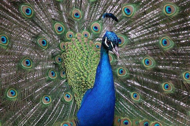 samec v plné kráse