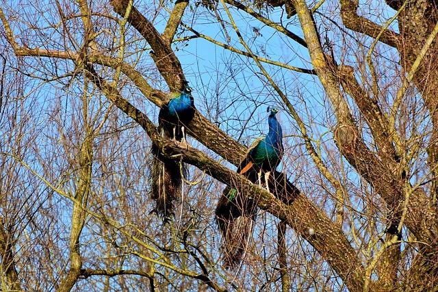 pávi na stromě